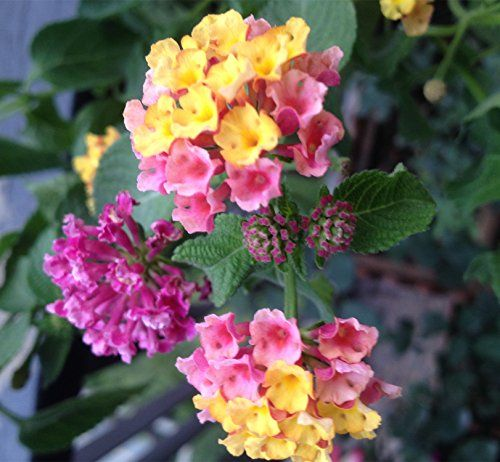 Lantana Plant How To Grow And Care For Bush Trees Guide