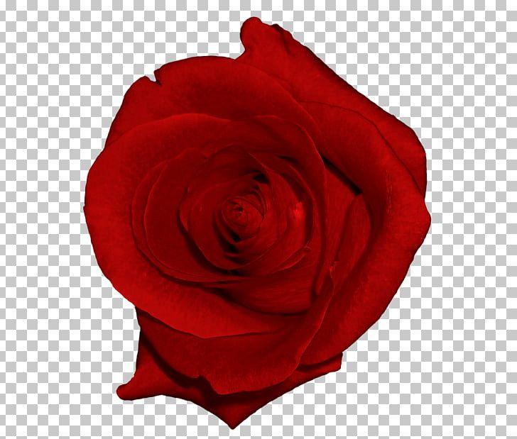 Beach Rose Garden Roses Flower Clip Art Real Red Rose Png Picture Red Rose Png Flower Clipart Flower Clip