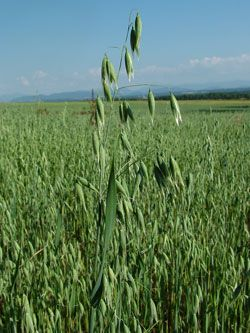 Název: Oves setý Latin. název: Avena sativa Čeleď: lipnicovité Latin. čeleď: Poaceae