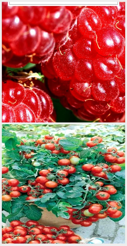 10 Tips For Delicious Home Grown Raspberries Plantura Raspberry Plants Fast Growing Vegetables Raspberry