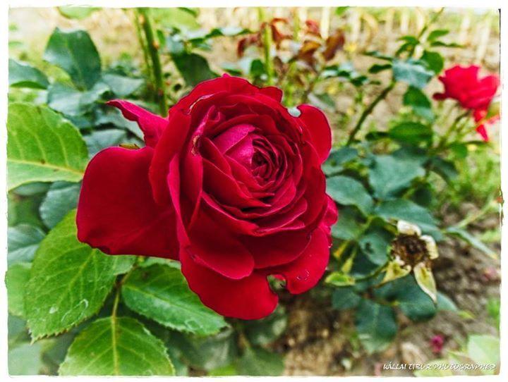 Fragrant red rose.