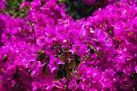 Bougainvillea, Flowers, Purple