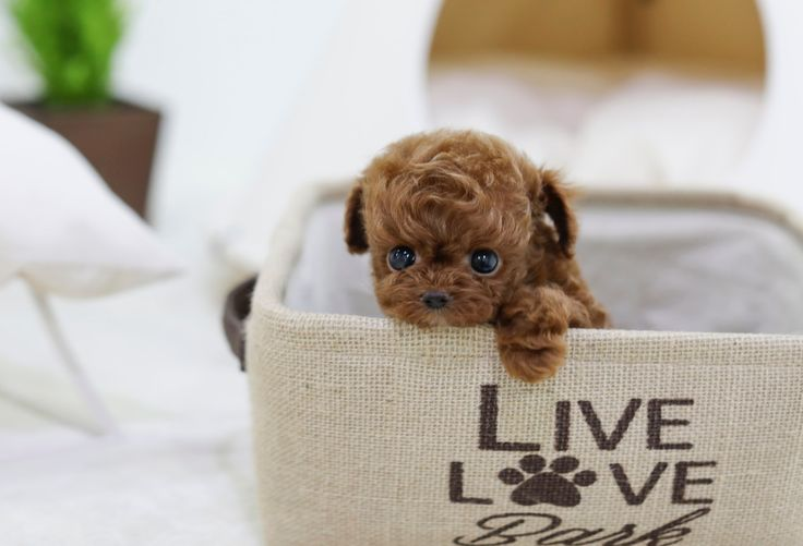 SOLD** SUNO - Teacup Poodle Female | ITSY PUPPY | Teacup & Microteacup Puppies for Sale | ITSY PUPPYITSY PUPPY | Teacup & Microteacup Puppies for Sale | ITSY PUPPY