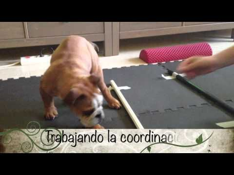 Rehabilitación veterinaria: Síndrome del cachorro nadador - YouTube