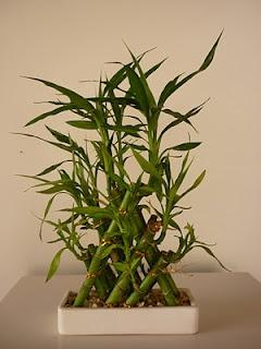 Bambu da Sorte: Além de bons fluídos ele é lindo!