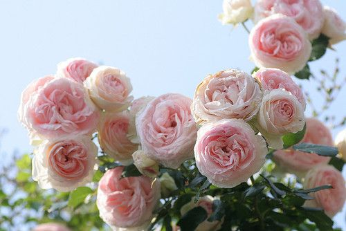 cabbage roses...so wonderfully simple and grandma feeling, especially in pink or white.