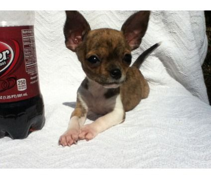 Holy Cow..Little Apple Head Chihuahua