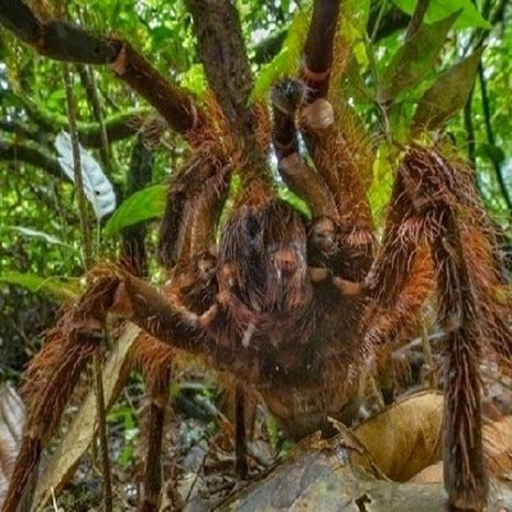Conheça a maior aranha comedora de pássaros do mundo