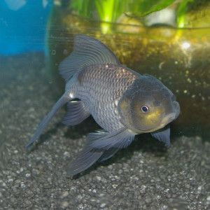 Blue Oranda Gathering Of Goldfish Pinterest Blue