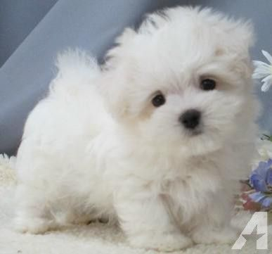 Sweet little maltipoo
