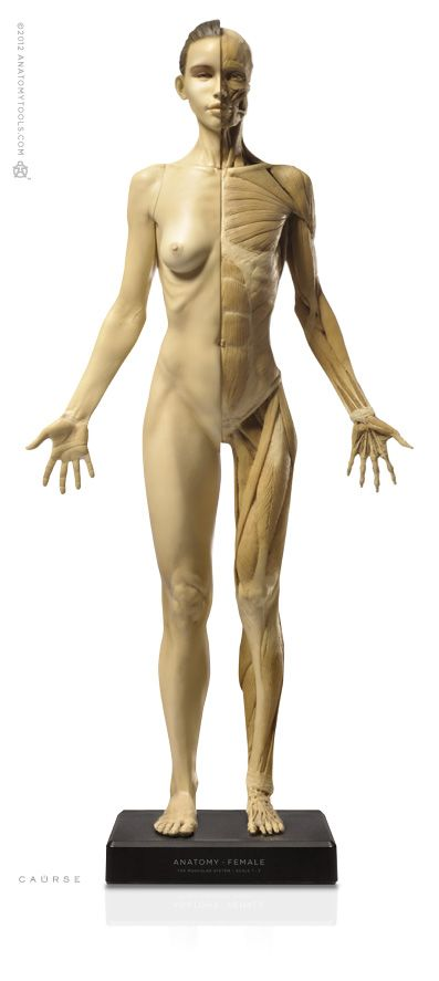 220 best visible woman anatomy art research images on pinterest, Human Body