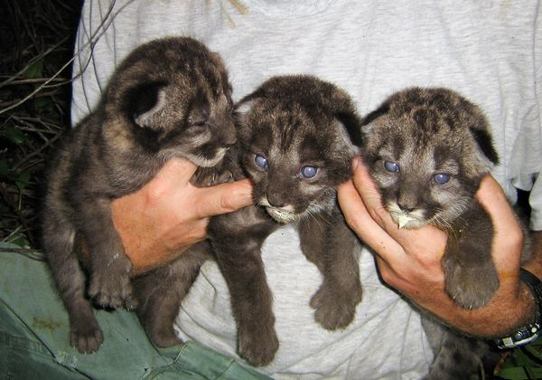The Black Panthers in Everglades | ... Florida panther kittens in Everglades National Park in June 2006