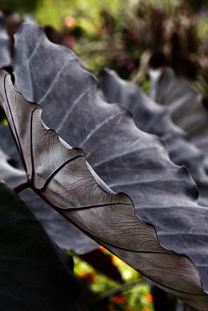 Colocasia Esculenta. Black Magic ~ exotic and adds drama to a garden. =and...it looks like the profile of a black butterfly! :)