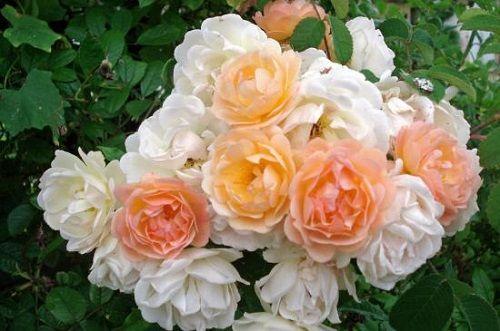 Ghislaine de Féligonde est un rosier arbustif qui se plaît partout. Florifère et remontant, à feuillage sain, la plupart du temps exempt de maladies. Floraison en bouquets de pompons denses jaune abricot clair teintés de rose, blanchissant lorsqu'ils s'épanouissent. Peu d'épines. Peut s'employer en touffe isolée, en haie libre, ou en grimpant palissé (murs, grillages, pylônes). Convient dans un endroit peu ensoleillé. Multiflora, Turbat, 1916.
