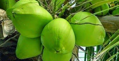 manfaat air kelapa muda untuk kesehatan,air kelapa hijau untuk kesuburan,kelapa hijau untuk kulit,untuk sakit maag,untuk rambut,untuk batu ginjal,untuk ibu menyusui,