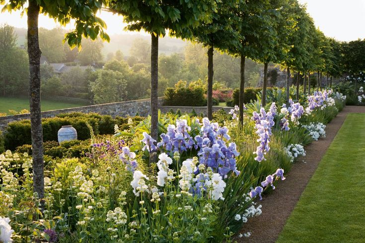 Pleached trees under planted with bearded irises in a Cotswold garden designed by Jinny Blom