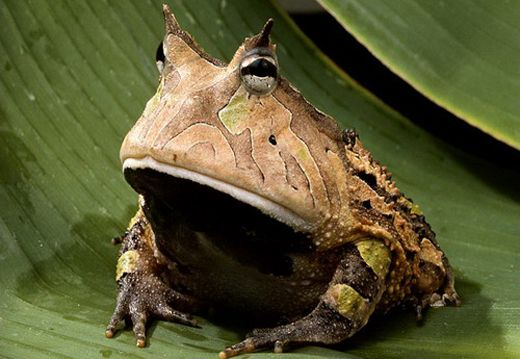 Frog?: Rainforests Animal, Amazons Rainforests, National Geographic, Horns Frogs, Amazonian Rainforests, Amazons Horns, Hypno Toad, Mothers Natural, Tropical Birds