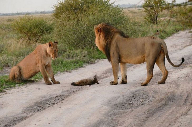 When A Lion Family Caught An Injured Fox: The Most Unexpected Just happened (16 Pics)