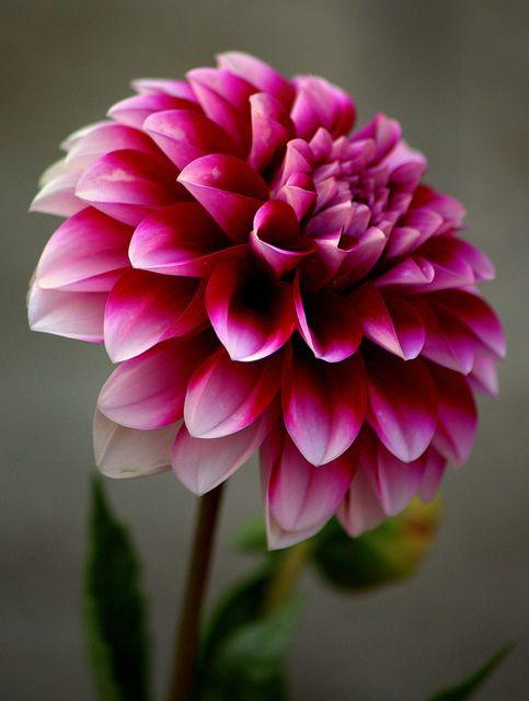 Dalia,adoro...Lembra os antigos jardins de minha meninice....Saudades