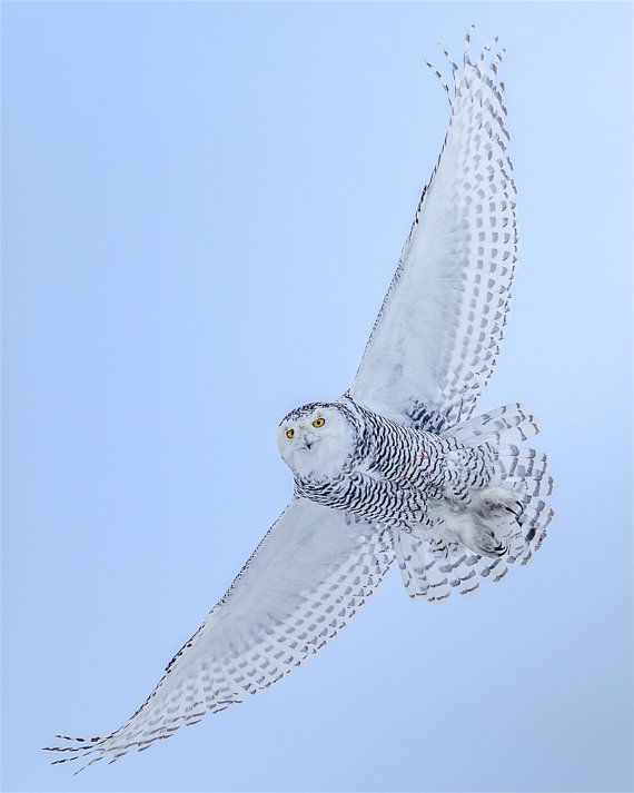 Snowy Owl, Owl Photo, Owl Print,  Nature Print, Bird Picture, Bird Photography, Wall Art, Snow Angel, Winter Owl, Owl In Flight, Cold Owl