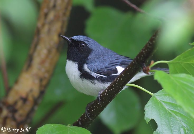 Dendroica caerulescens - Paruline bleue - Black-throated Blue Warbler -