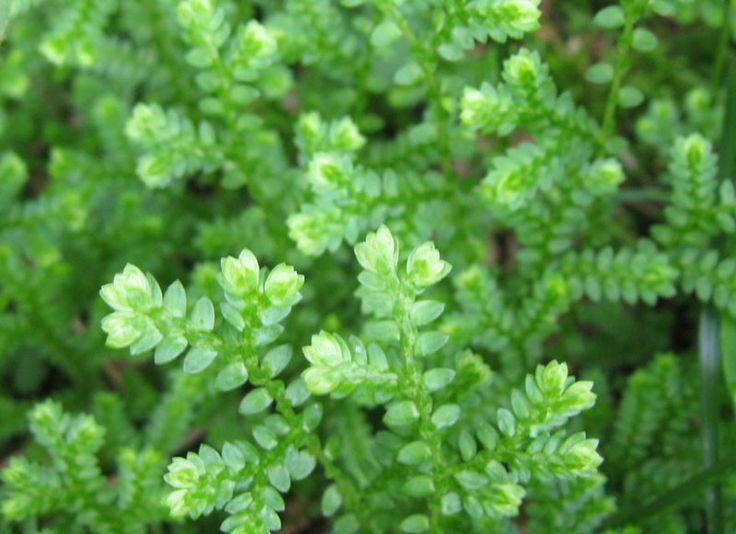 シダ植物>クラマゴケ