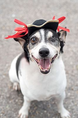 Pictures of Bush a Rat Terrier for adoption in Key Biscayne, FL who needs a loving home.