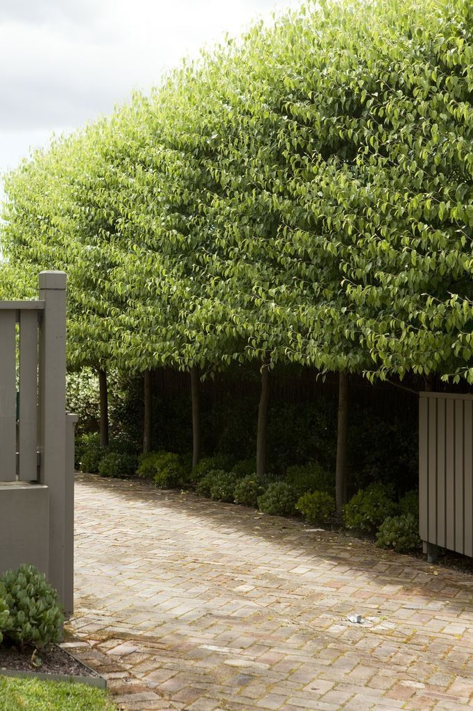Pleached hedge, lovely underplanting of Buxus globes...Garden by Peter Fudge