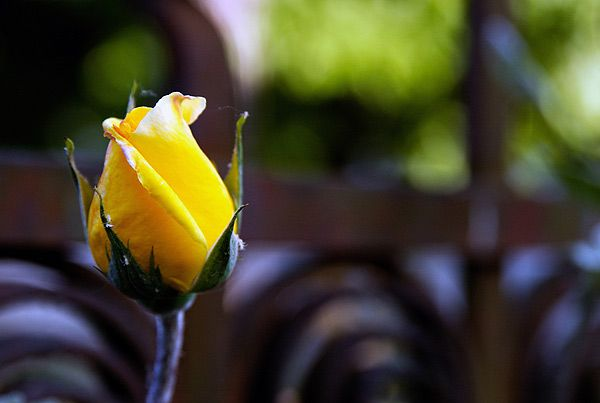 роза бутон - Поиск в Google