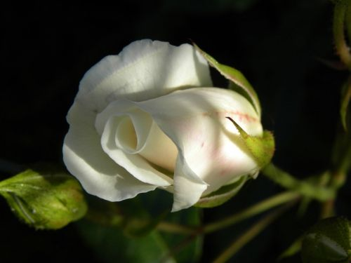 Närbild av vit ros i kvällssolen. Fotat av Ockelbo Webbdesign.