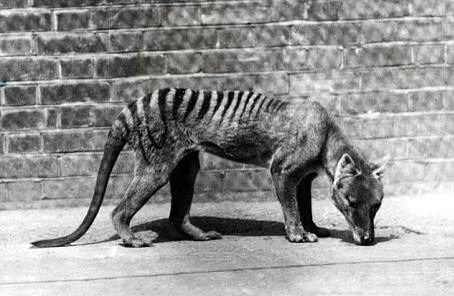 Last known Thylacine - Tasmanian Tiger dies  On this day …….. 7th September 1936 The Thylacine, more commonly known as the Tasmanian tiger, was a large carnivorous marsupial. Now believed to be extinct, the thylacine was coloured yellow-brown to grey, with dark stripes across its back from shoulders to tail. Limited to Tasmania in recent times, the discovery of fossils in mainland […]