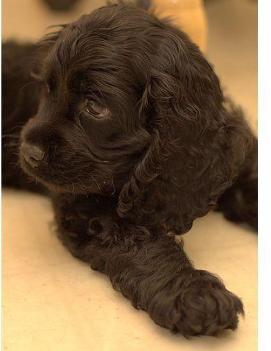 #Cocker Spaniel Puppy