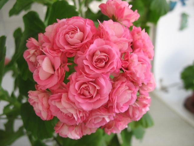 Зональная пеларгония Swanland Pink/Australien Pink Rosebud