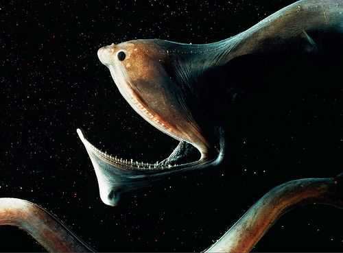 gulper eel. deep sea fish. Sits motionless awaiting its prey, can ingest animals that are the size of it!