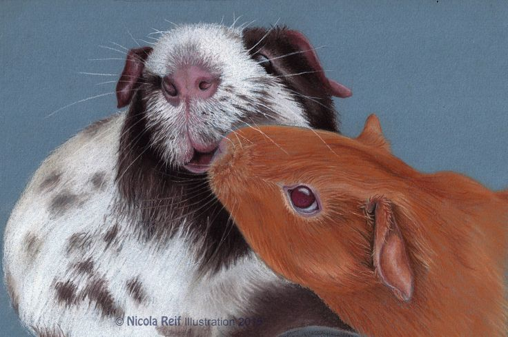 Guineapig love. Pastel Pencil on Canson Mi Teints Paper. (Photo reference C Martha Fardoe). Original and prints available for purchase. Pet portrait