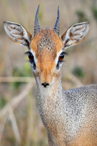 Dik dik We used to see these wonderful little creatures along the road on our way down to South Africa from Zambia.