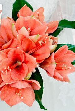 coral amaryllis. here and there...not as a dominant bloom. great color.