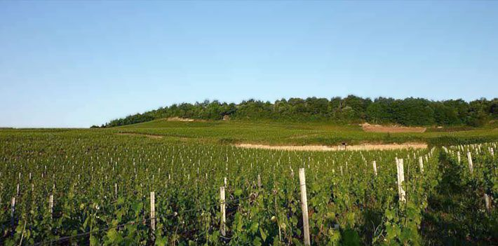 Vines around Ladoix, Côte De Beaune, Burgundy.