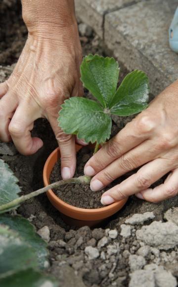 Erdbeeren: Neue Pflanzen aus Ablegern -  Sommerzeit ist Erdbeerzeit. Und weil man von den süßen Früchtchen oft gar nicht genug im Garten haben kann, lohnt es sich, Ableger zu ziehen. Wir zeigen, wie Sie Erdbeeren so ganz einfach selbst vermehren können