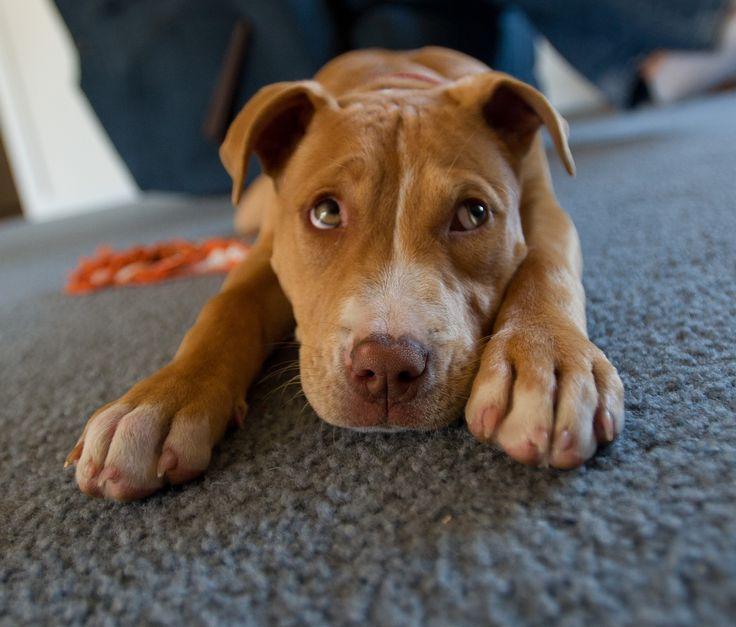 My red nose pitbull Chloe. | Bullies | Pinterest