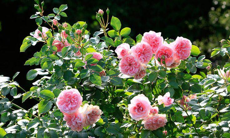 L'automne est la meilleure période pour planter ses rosiers.