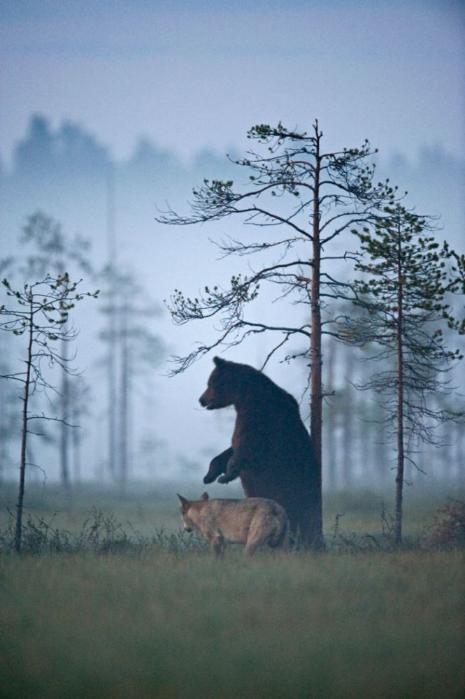 rare-animal-friendship-gray-wolf-brown-bear-lassi-rautiainen-finland-dusk
