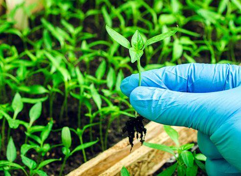 Посев перца на рассаду по Лунному календарю 2016 годагода, пикировка, рассада, выращивание перца