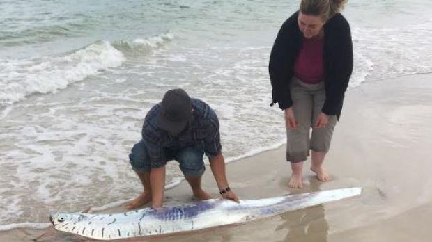 11/17/2016 - Western AU - South West locals try to rescue rare oar fish from beach stranding.  Quake relationship?  Noisy in deep water?