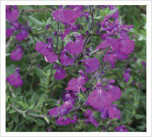Salvia greggii 'Christine Yeo' | Lambley Nursery 60 x 60 dec through April