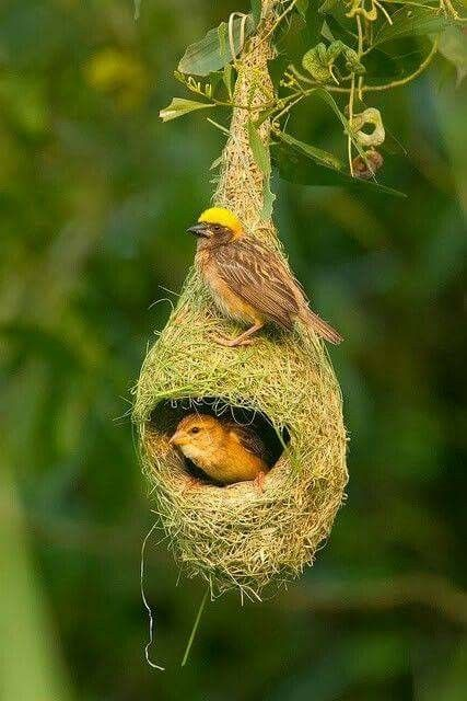 Baya weavers are found across S and SE Asia, preferring grasslands, cultivated areas, scrub and secondary growth. They are best known for their hanging retort shaped nests woven from leaves.