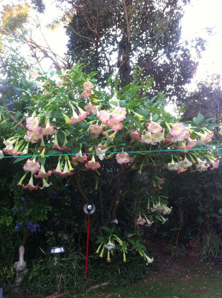 Pink Brugmansia