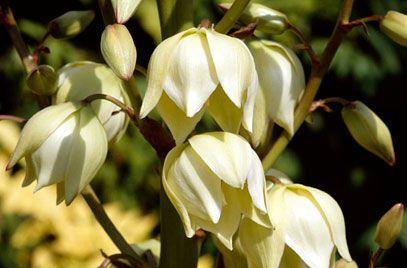 RHS info about Yucca Gloriosa (Spanish Dagger)
