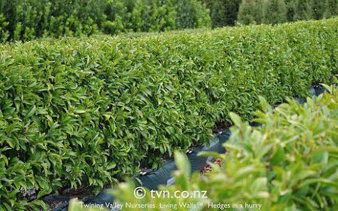 port wine magnolia hedge - Google Search