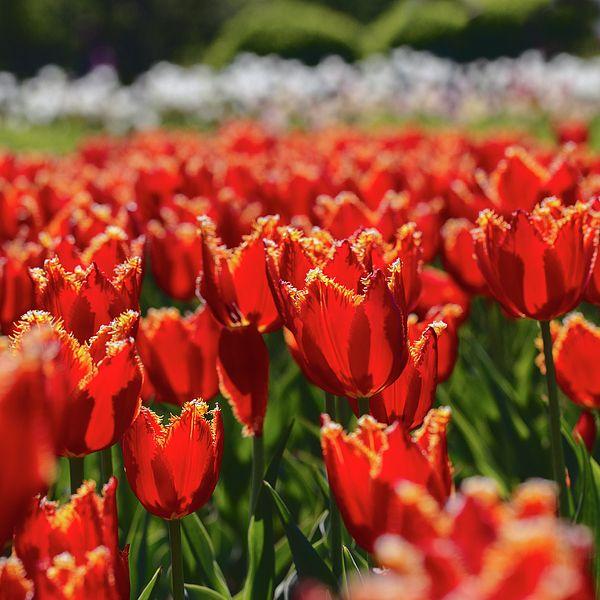 Spring Tulip by Alexander Cherevan  #AlexanderCherevanFineArtPhotography #ArtForHome #FineArtPrints #tulips #spring
